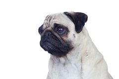 Nice pug dog with white hair Stock Photos