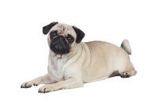 Nice pug dog with white hair Royalty Free Stock Photos