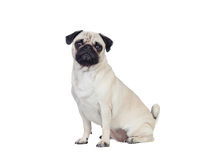 Nice pug dog with white hair Royalty Free Stock Photo