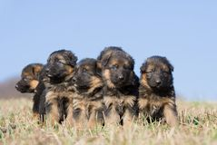 Nice puppies on meadow Royalty Free Stock Image