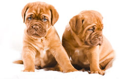 Nice Puppy Stock Photography