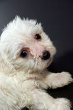 Nice puppy. Nice white puppy of maltese bowler isolated on black background Stock Photo