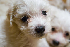 Nice puppy. Nice white puppies of maltese bowler lying on the ground Royalty Free Stock Photo