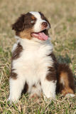 Nice puppy of Australian Shepherd Dog Stock Photos