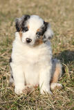 Nice puppy of Australian Shepherd Dog Royalty Free Stock Image