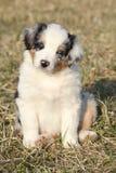 Nice puppy of Australian Shepherd Dog