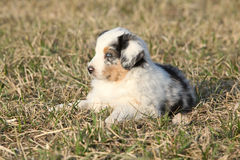 Nice puppy of Australian Shepherd Dog Royalty Free Stock Photography