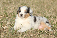Nice puppy of Australian Shepherd Dog in early spring grass Royalty Free Stock Images
