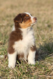 Nice puppy of Australian Shepherd Dog in early spring grass Royalty Free Stock Image