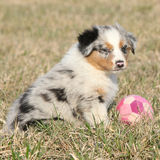 Nice puppy of Australian Shepherd Dog in early spring grass Royalty Free Stock Photography