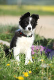 Nice puppy of border collie in flowers Stock Image