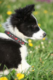 Nice puppy of border collie in flowers Royalty Free Stock Photo