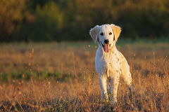 Golden Retriver Royalty Free Stock Photos
