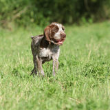 Nice puppy of Italian Wire-haired Pointing Dog Stock Images