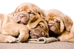 Nice Puppy Sleeping Stock Photography