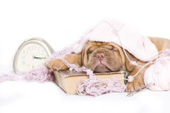 Nice Puppy Sleeping Royalty Free Stock Image