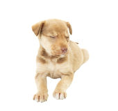 Nice puppy sleeping. On white background royalty free stock photos