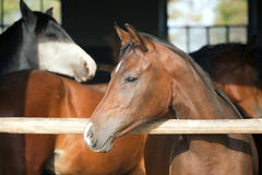 Nice purebred horse watching in his stable Royalty Free Stock Photography