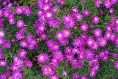 Blooming Flowering Flowers Background Violet Purple And Green Royalty Free Stock Photography