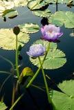 Purplel otus flower in pool Royalty Free Stock Photos