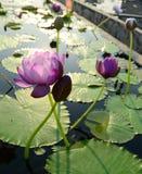 Purplel otus flower in pool Royalty Free Stock Photography