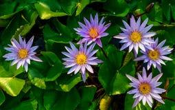 Group of purplel otus flower in pool Royalty Free Stock Images