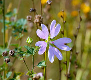 Nice purple mallow flower. The Nice purple mallow flower Stock Images