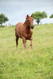 Nice Quarter horse stallion running on pasturage Stock Photo