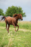 Nice Quarter horse stallion running on pasturage Royalty Free Stock Photography