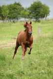Nice Quarter horse stallion running on pasturage Stock Images
