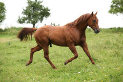 Nice Quarter horse stallion running on pasturage Royalty Free Stock Image