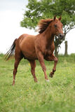 Nice Quarter horse stallion running on pasturage Stock Image
