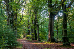 Nice quiet path in the forest with beech trees Royalty Free Stock Image