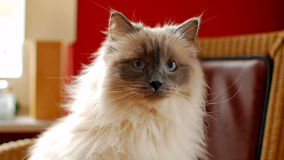 Nice Ragdoll cat. Developed by American breeder Ann Baker, it is best known for its docile and placid temperament and affectionate nature. The name Ragdoll is Royalty Free Stock Images