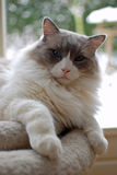 Nice Ragdoll cat. Developed by American breeder Ann Baker, it is best known for its docile and placid temperament and affectionate nature. The name Ragdoll is Stock Photography