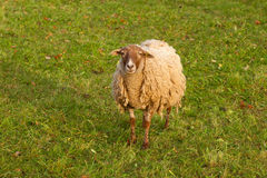 Nice ram Royalty Free Stock Photo