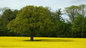 Nice rape field and old big oak Royalty Free Stock Images