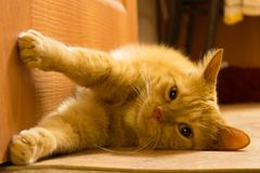 Red cat in the interior in warm colors royalty free stock photo