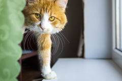 Nice red cat Royalty Free Stock Photo