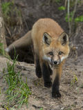 Nice Red Fox. A Red Fox walking towards you Royalty Free Stock Photos
