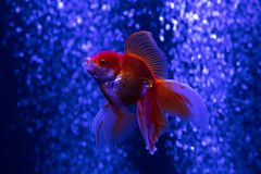 Nice red gold fish in air bubbles blue background. Nature aquarium Stock Photos