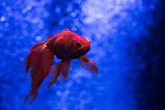 Nice red goldfish in blue. Close up macro photo Stock Image
