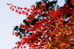 Nice red maples Stock Photos