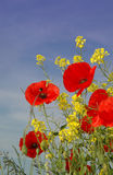Nice red Poppies Stock Photo