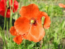 Red poppy wild flower in field, Lithuania Royalty Free Stock Images
