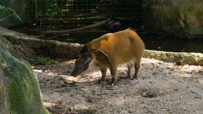 Nice the red river hog bush pig in Singapore ZOO royalty free stock photos