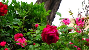 Nice red rose branch in summer green park. stock footage