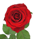 Nice red rose isolated background Stock Image