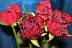 Red roses 002. Nice red roses with waterdrops on it and blue background stock photo