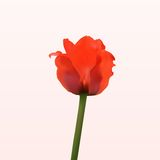 Nice red spring tulip Royalty Free Stock Photography